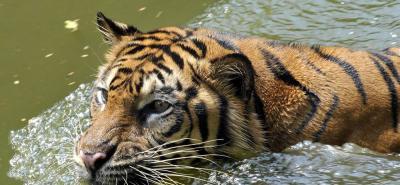 La población mundial de tigres en aumento por primera vez en un siglo