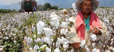 Según la FAO en Colombia, el algodón podría ser una alternativa para la sustitución de cultivos ilícitos.