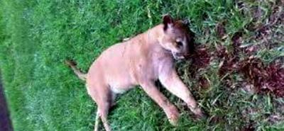 Autoridades desmienten supuesto asesinato de un puma en Florián