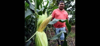 En Colombia, la adopción de maíz genéticamente modificado aumentó en un 17 % con respecto al año anterior.