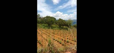 Los cultivos, especialmente de pepino, pimentón, tomate y tabaco, fueron los más afectados por la sequía y racionamiento de agua. Ahora, lo que se busca es reforestar para evitar crisis.