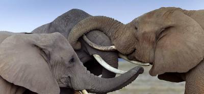 Afamado cazador murió aplastado por un elefante durante una cacería