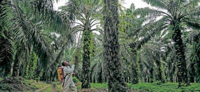 Fedepalma estima que los palmeros deben trabajar para tener, al menos, una reducción de los costos de producción de un 30%.