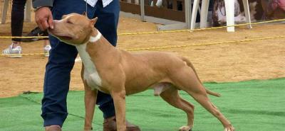Según la Federación Cinológica Internacional, FCI, la organización canina mundial encargada de regir y velar por las razas puras, estos perros están clasificados en el grupo número tres, el cual pertenece a los Terriers de tipo bull.