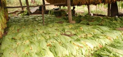 En Santander, aproximadamente 15 mil familias viven de la hoja del tabaco, un cultivo de economía campesina.