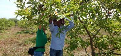 Sabor y olor es una de las características de la guayaba criolla que se cultiva en la Hoya del Río Suárez.