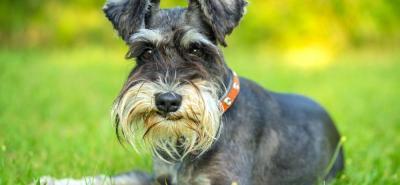 Schnauzer, el perro de pelaje áspero y corazón noble