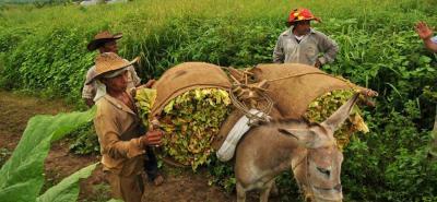Los sectores minifundistas son los más alejados del acceso a la maquinaria, como por ejemplo, los cultivadores de tabaco y fríjol.