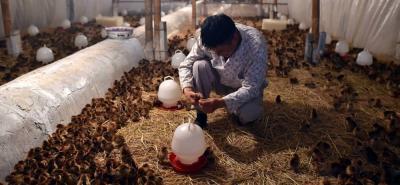 Los avicultores importan 4.4 millones de toneladas de maíz amarillo; 630.000 toneladas de frijol soya y  1,1 millones de toneladas de torta de soya.