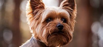 Yorkshire Terrier: un perro miniatura que derrocha elegancia y amor