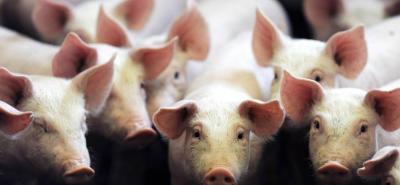 Desde hace décadas los científicos intentan hacer realidad el trasplante de órganos de cerdos a humanos.