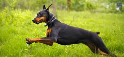 Dóberman: un perro potencialmente protector y tierno
