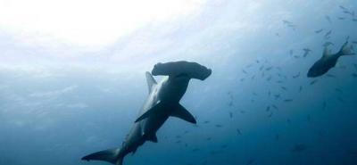Tiburones Martillo de la isla Malpelo serán protegidas por el Gobierno