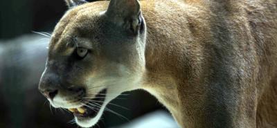 Un puma sería el responsable de la muerte de los Camuros en Santander.