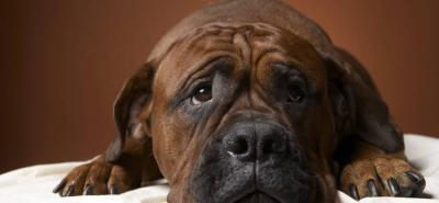 Bóxer: el perro 'baboso', fiel y protector que encanta al hombre