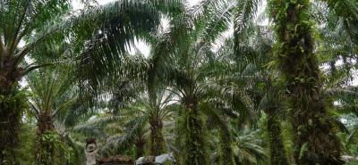 Al cierre del 2017, en Colombia se llegaría al millón 500 mil toneladas de aceite de palma, de las cuales más del 40% hay que colocarlas en el mercado externo.