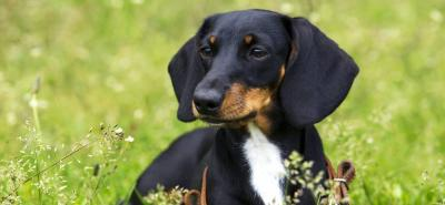 Dachshund: el perro 'salchicha' que encanta con su mirada tierna