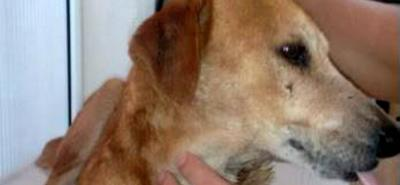 Rescatan perro con graves heridas en Piedecuesta