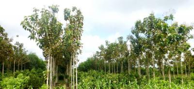 Los cacaos especiales y los sistemas agroforestales, son más armoniosos con la naturaleza.