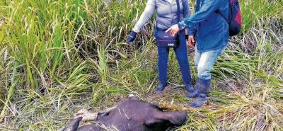 Esta semana las autoridades visitaron la zona en donde se han presentado los ataques y pudieron encontrar algunos cadáveres de búfalos.