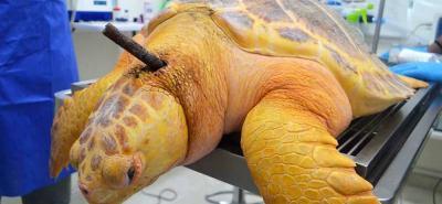Rescatan a tortuga marina gigante herida con arpón en Santa Marta
