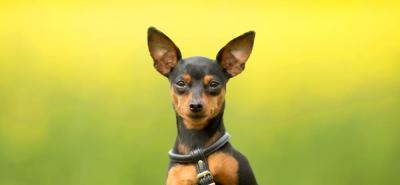 Pinscher miniatura: el perro de corazón grande y fiel