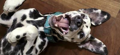 Dálmata: un perro para amar a blanco y negro
