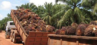 La palmicultura del país está en manos de pequeños y medianos productores con siembras que no sobrepasan las 50 hectáreas.