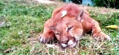 Por redes sociales se aseguró que la Puma asesinada dejó cuatro cachorros huérfanos.
