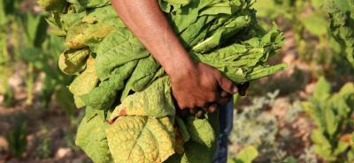 En Santander, las mayores siembras de tabaco se tienen en la provincia de García Rovira. Las hojas que se cosechan en Girón son de un sabor y aroma envidiables.
