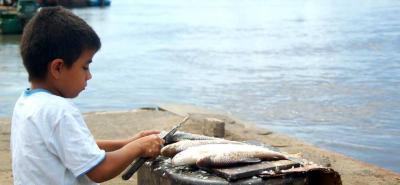 Una muestra de que existe un declive alarmante de la pesca, es que especies nativas com el bocachico y el bagre tigre, literalmente, han desaparecido de las cocinas de los colombianos.