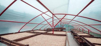 Los granos de café tras el proceso de lavado van a marquesinas para el secado, con el fin de no alterar la calidad.