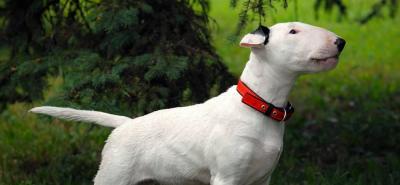 Bull Terrier: el perro con cara de 'huevo' que enamora corazones