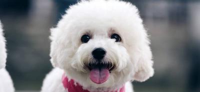 Poodle, el perro más popular, amoroso y elegante que acompaña al hombre