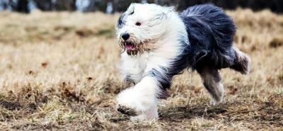 Bobtail: el 'viejo pastor ovejero inglés' que aún roba miradas y corazones