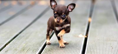 Chihuahua: el canino más pequeño del mundo con un corazón lleno de amor
