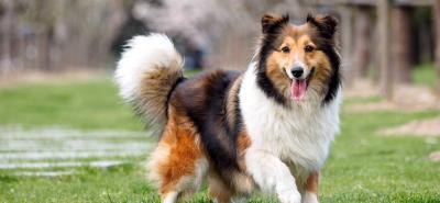 El Collie de pelo largo: la representación de la elegancia en un canino
