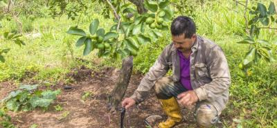 De acuerdo a las proyecciones, Rionegro tiene un potencial de producción cercano a las 9 mil toneladas al año. Esa fruta se colocaría en el mercado de EE.UU., principalmente.