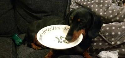 Flynn, el perro salchicha que padece de cleptomanía