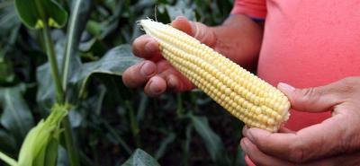 Para tener las semillas en el banco de germoplasma, Corpoica tiene 14 meses para lograrlo. Se trabajará con cultivos que son rentables.