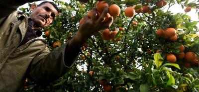 El HLB deforma las frutas, luego ataca las ramas hasta llevar a la muerte al árbol.