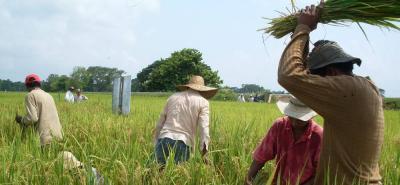 Según Fedearroz, el Programa Colombia Siembra pretendía 100 mil hectáreas de arroz en tres años; sin embargo, esa meta se superó en 40 mil hectáreas en un solo año.