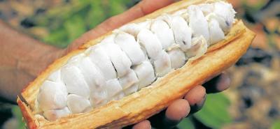 Según la Organización Internacional del Cacao, Colombia produce granos finos en aroma y sabor.