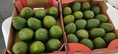 Alrededor de 12 años duró la certificación fitosanitaria para que el aguacate hass que se produce en Colombia llegara al mercado de los Estados Unidos.