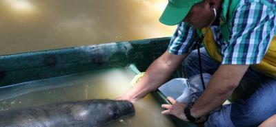 El animal fue atendido por delegados de la CAS, Policía Ambiental, Secretaría de Medio Ambiente y pescadores de la zona, sin embargo, no logró sobrevivir.