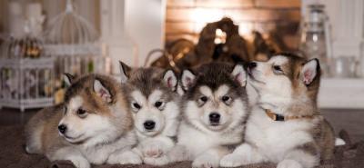 Malamute de Alaska: el perro de trineo que roba corazones y miradas