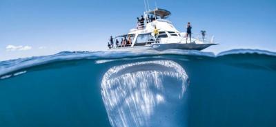 Vea la Impresionante fotografía de un tiburón bajo un pequeño barco de turistas