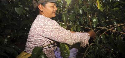 El 95% de los cafeteros del país tienen siembras inferiores a las cinco hectáreas; sin embrago, su producción representa el 65% de la cosecha nacional.