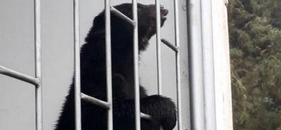 Captan a un oso de anteojos buscando comida en un parque naciona