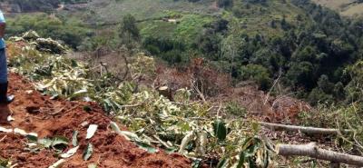 Entre las especies taladas en la vereda Acapulco figuran cucharos, tachuelos, yarumos y cafetos. Y lo que resulta más grave, casi una hectárea de bosque nativo fue arrasado sin permiso de aprovechamiento forestal.